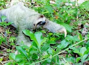 Faultier sloth-318882_1280